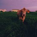 A Cow Walks Near Beachhouses by Joel Sartore