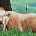 A Cow's Tale - Lazy Day by Janie Johnson