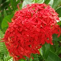 A Crown Of Ixora by Mary Deal