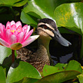 A Curious Duck And A Water Lily by Layla Alexander
