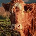 A Curious Red Cow by Maria Gaellman