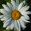 A Daisy A Day by Suzanne Gaff
