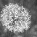 A Dandelion Black And White by Terry DeLuco