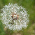 A Dandelion by Terry DeLuco