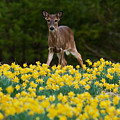 A Deer And Daffodils IIi by Douglas Stucky