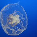 A Delicate Sea Jelly by Christiane Schulze Art And Photography