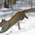 A Devil Named American Red Squirrel by Asbed Iskedjian