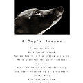 A Dog's Prayer In White  A Popular Inspirational Portrait And Poem Featuring An Italian Greyhound by Angela Rath