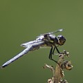A Dragon Fly Contemplating  by Jeff Swan