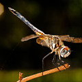 A Dragonfly by Christopher Holmes