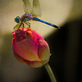 A Dragonfly Rests Momentarily On A Lotus Bud by Chris Lord
