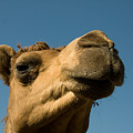 A Dromedary Camel At The Lincoln by Joel Sartore