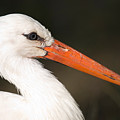 A European White Stork At The Lincoln by Joel Sartore