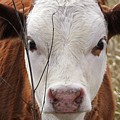 A Face You Can Love - Cow Art #609 by Ella Kaye Dickey