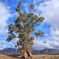 A Famous Tree by Grant Petras