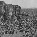 A Farmer Using A Cultivator  by American School