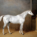 A Favourite Grey Horse Belonging To George Reed Standing In A Loose Box by William Barraud