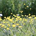 A Field Of Buttercups by Kerri Farley