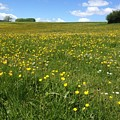 A Field Of Buttercups by Wendy Davies