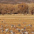 A Field Of Cranes by Leda Robertson
