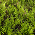 A Field Of Ferns by Todd Gipstein