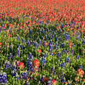 A Field Of Paint Brush And Bluebonnets by Frank Madia