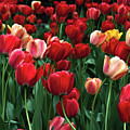 A Field Of Tulips by Kathleen Kent