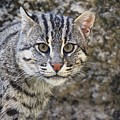 A Fishing Cat Portrait by Christopher Miles Carter