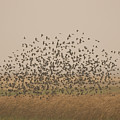 A Flock Of Birds Swarming A Field by Phil Schermeister