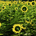 A Flock Of Blooming Sunflowers by Dennis Dame