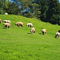 A Flock Of Sheep Grazes On Lush Grass by Yali Shi