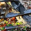 A Foraging Raccoon by Rachel Morrison