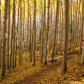 A Forest Of Aspens by Sue Cullumber