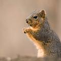 A Fox Squirrel Sciurus Niger Finds by Joel Sartore