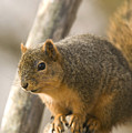 A Fox Squirrel Sciurus Niger Perches by Joel Sartore