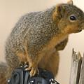 A Fox Squirrel Sciurus Niger Sits by Joel Sartore