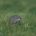 A Free-roaming Ground Squirrel At Omaha by Joel Sartore