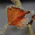 A Frosted Leaf  by Jeff Swan