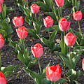 A Garden Full Of Tulips by Stacy Gold
