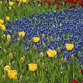A Garden Of Colorful Tulips And Grape by Raul Touzon