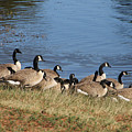 A Gathering Of Geese by Laura Martin