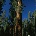 A Giant Sequoia Tree Towers by Phil Schermeister