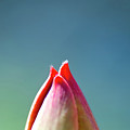 A Glimpse Of A Tulip by Heiko Koehrer-Wagner