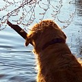 A Golden Retriever And His Stick by Jane Marlin