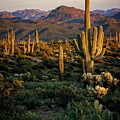 A Golden Sonoran Evening  by Saija Lehtonen