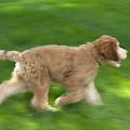 A Goldendoodle Puppy Runs by Joel Sartore