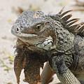 A Gray Iguana With Spines Along It's Back by DejaVu Designs