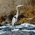A Great Blue Heron At The Spokane River 2 by Ben Upham III