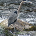 A Great Blue Heron At The Spokane River 3 by Ben Upham III