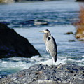 A Great Blue Heron At The Spokane River by Ben Upham III